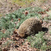 European hedgehog, siili