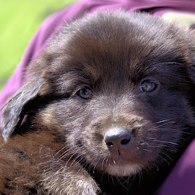 Balou by Daggi Meyer - Animals - Dogs Puppies (  )