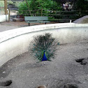 Peacock and Prairie Dogs