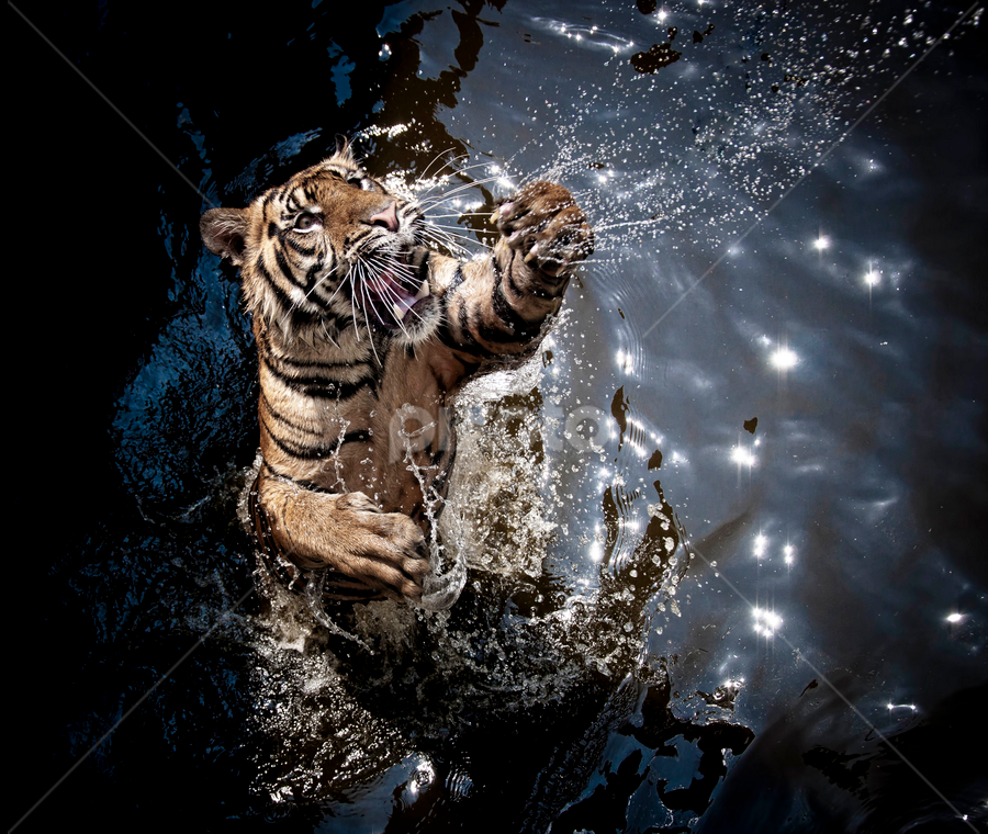 by Robert Cinega - Animals Lions, Tigers & Big Cats (  )