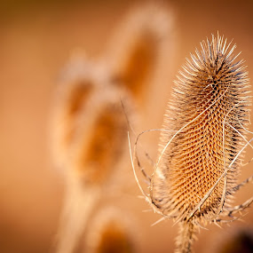 Picky by Jack Brittain - Nature Up Close Other plants ( plant, thistle, canada, nature, ontario, mississauga )