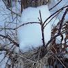 Field Sparrow (nest)