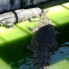 Philippine Salt Water Crocodile