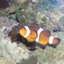 True Percula Clownfish