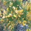 Thorny Broom (Calycotome infesta)