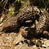 Stumpy tail lizard/Shingleback