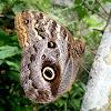Caligo Teucer, mariposa, Butterfly, borboleta