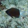 Chocolate-Dip Chromis