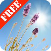 Lavender Field Free