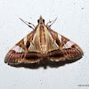 Crambidae Spilomelinae