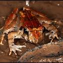 Malesian Frog