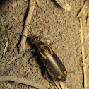 Yellow-crested Blister Beetle