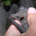 Mexican Long-tongued Bat