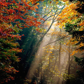 Through the Trees by Janet Lyle - Landscapes Forests ( autumn, trees, forest, sun rays )