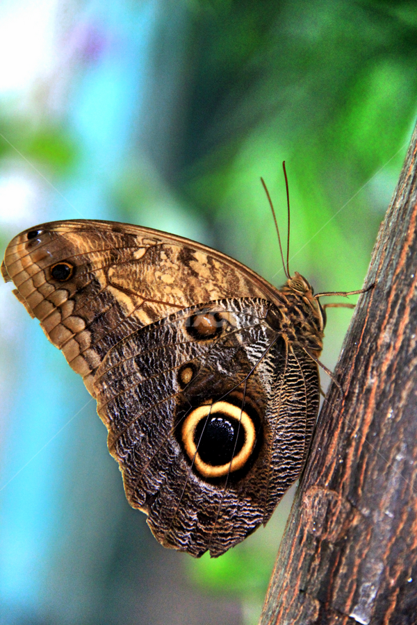 Morpho Peleides by Marsha Biller - Animals Insects & Spiders ( spots, butterfly, hanging on tree, brown, closeup,  )