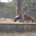 Peacock & Deer