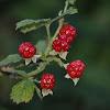 Raspberry (fruit of Rubus)