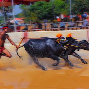 In Action by Prithiviraj Kiridarane - News & Events Entertainment ( kambala, india, buffallo, race, karnataka )