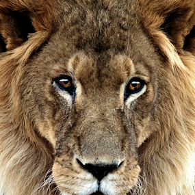 Fearless by Cheryl Nestico - Animals Lions, Tigers & Big Cats ( big cat, lion, cat, safari, africa, eyes,  )