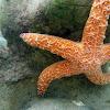 Pacific (Ochre) Seastar