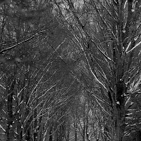Winter's Cathedral by Ruby Stephens - Black & White Landscapes ( tree-lined drive, leading lines, black & white, bradford pear, snowy road, repetition )