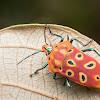Mallotus Harlequin Bug