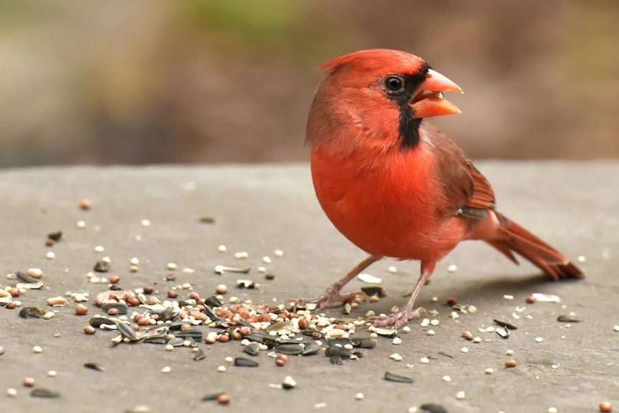 Male Northern Cardinal by Funny Birdie - Animals Birds ( bird, cardinal, fly, wildlife, seeds,  )