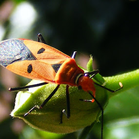 unknown insect by Prakash Tantry - Animals Insects & Spiders ( tiny, nature, rare, color, insect,  )