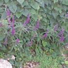 Mexican sage bush