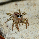 Dimorphic Jumping Spider (male)