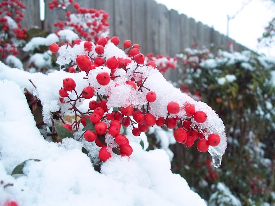 Snow Berries by Kathy Suttles - Nature Up Close Other Natural Objects (  )