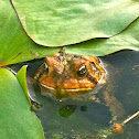 Common brown toad