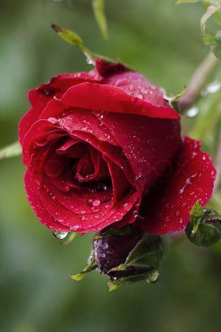 ดอกกุหลาบแทนค่าแห่งรักแท้