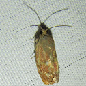 Unknown Tortricid Moth