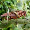 Red katydid (female)