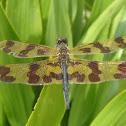 Banded Flutterer Dragonfly
