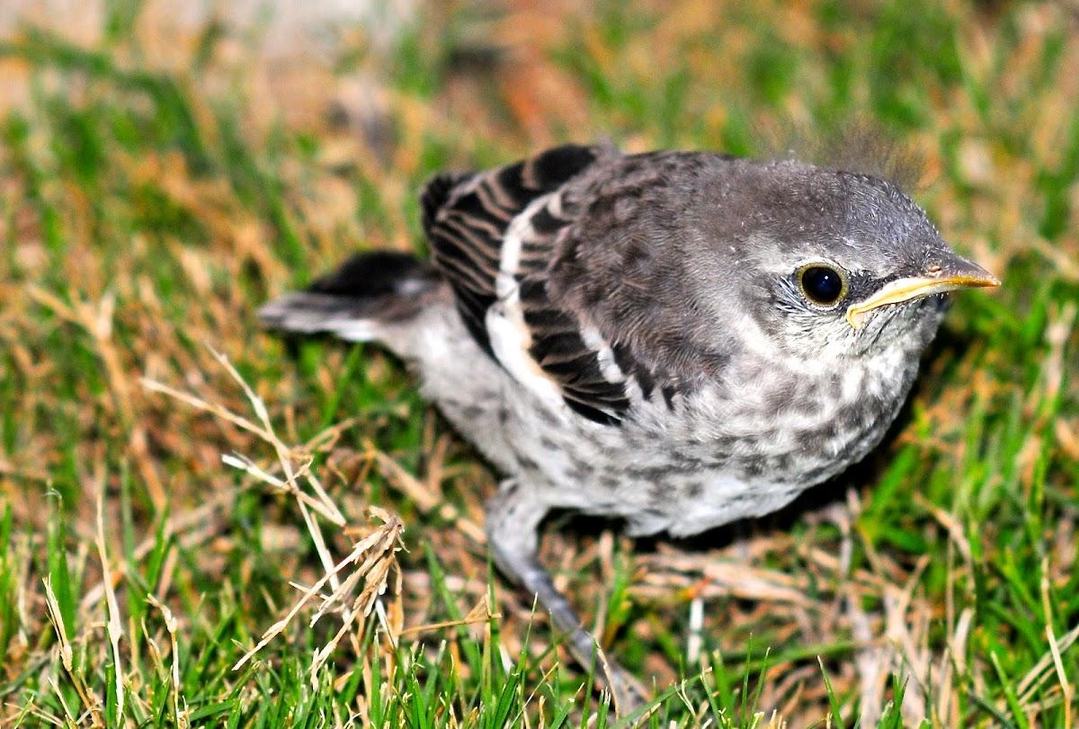 Mockingbird (baby)