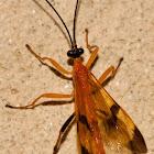 Ichneuman Wasp