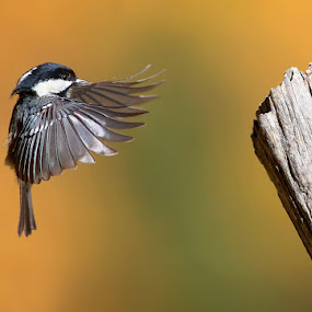 Landing by Stefano Ronchi - Animals Birds