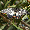 Dingy Swallowtail