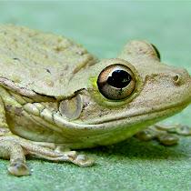 The Cuban Treefrog in Florida