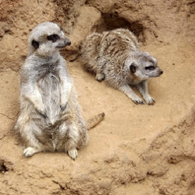 Meerkat Brothers by Nikki Kean - Animals Other ( animals, zoo, meerkat, cute, animal )