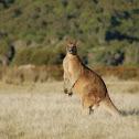 Eastern Grey (Forester's) Kangaroo