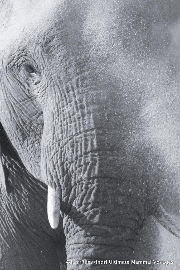 Desert-adapted African Elephant