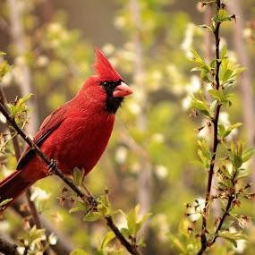 Male Cardinal in Early Spring by Miranda Powers - Animals Birds ( bird, cardinal, spring,  )