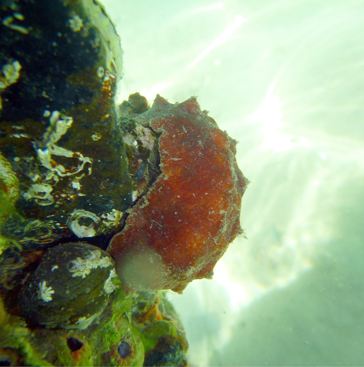 Butterfly Chiton