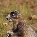Monkey squirrel (local name) or fox squirrel
