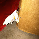 Acrea Moth