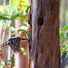 Pica-pau-malhado-grande,Great Spotted Woodpecker