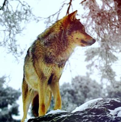 Snow wolf HD